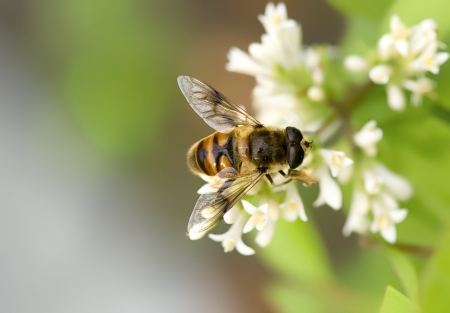 interesting bee on the white flowerets photo