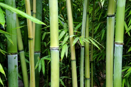 green bamboo photo