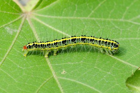 a cute caterpillar on leaf photo