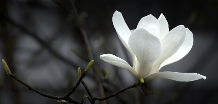a beautiful white magnolia flower. photo