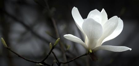 una flor de magnolia blanco hermoso.