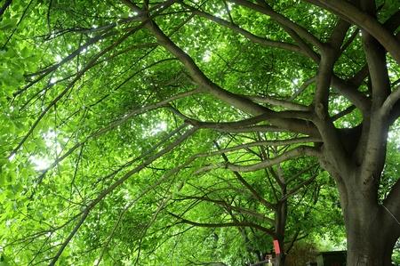 shady: shady place under big tree