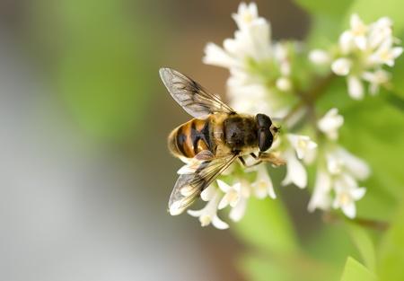 miel de abeja: abeja interesante sobre los flowerets blancos