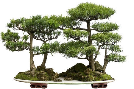 made in china: this china bonsai is made of cedar.