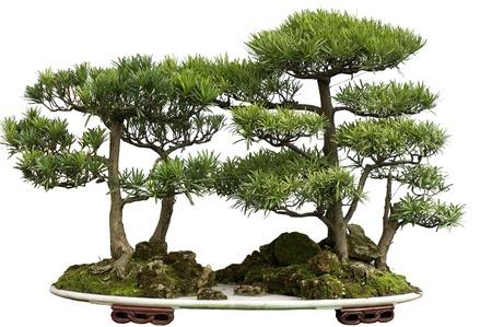 this china bonsai is made of cedar.