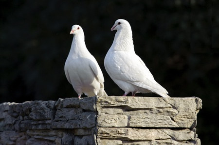 two loving white doves Stock Photo - 8455862