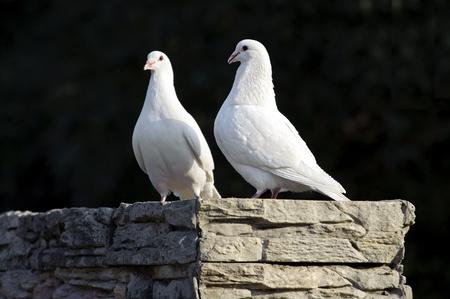 two loving white doves Stock Photo - 8455862