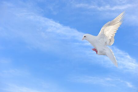 white dove in free flight photo