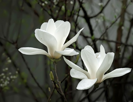 the magnolia: a beautiful white magnolia flower with fresh odor