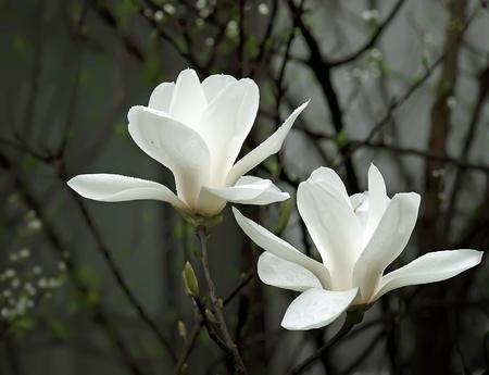 una flor de magnolia blanco hermoso con olor dulce