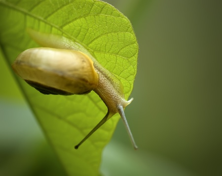 a interesting snail on leaf. Stock Photo - 8455327