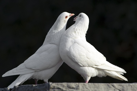 white pigeon: two loving white doves