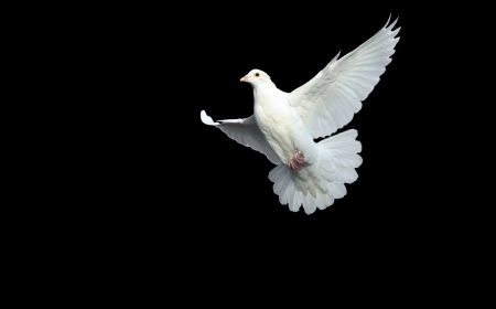 white dove: white dove in free flight with isolated black background Stock Photo