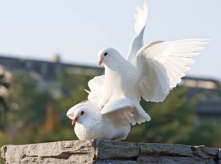 two loving white doves Stock Photo - 8471261