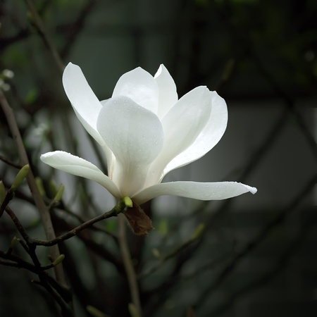 a beautiful white magnolia flower with fresh odor Stock Photo - 8470920