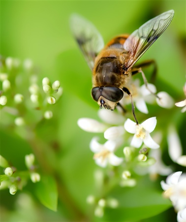 florets: a interesting bee on the white florets