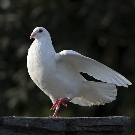 white dove: white dove Stock Photo