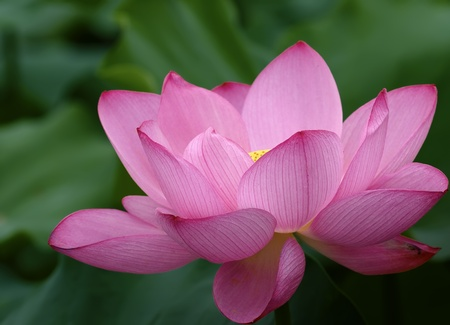 a beautiful lotus in pond. photo