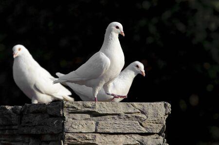 palomas volando: Paloma blanca