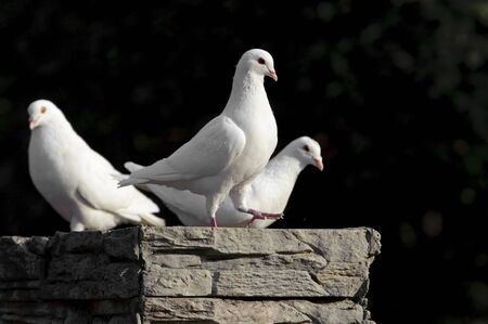 white dove: Paloma blanca