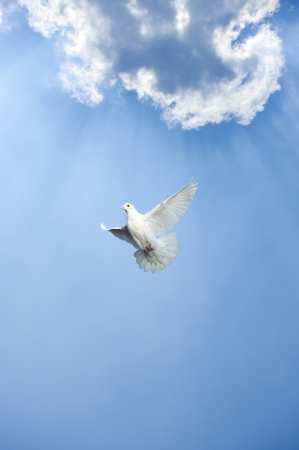 white dove: white dove in free flight under blue sky Stock Photo