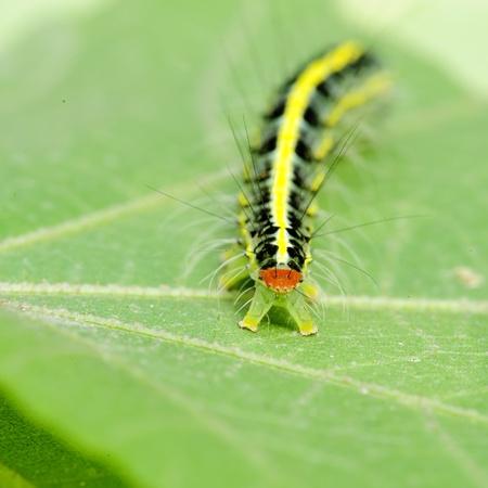 a cute caterpillar on leaf Stock Photo - 8485695