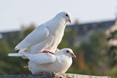 two loving white doves Stock Photo - 8496332