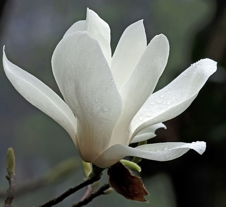 odor: a beautiful white magnolia flower with fresh odor