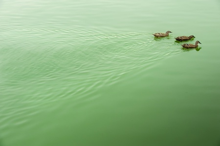two ducks: two ducks on the tranquil lake surface Stock Photo