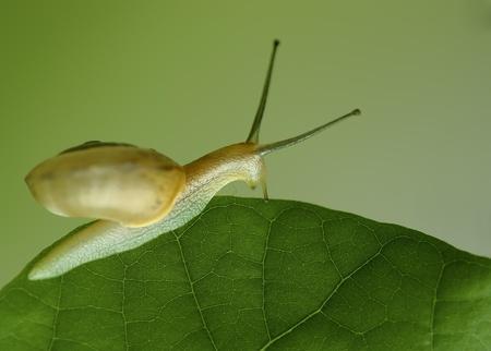 a divertive snail on leaf. Stock Photo - 8592416
