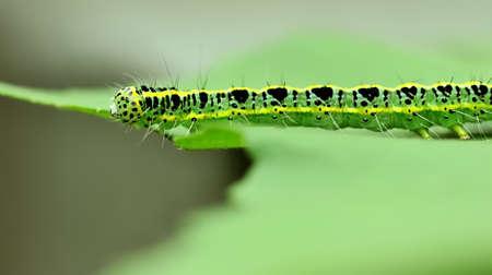 a cute caterpillar on leaf Stock Photo - 8611319