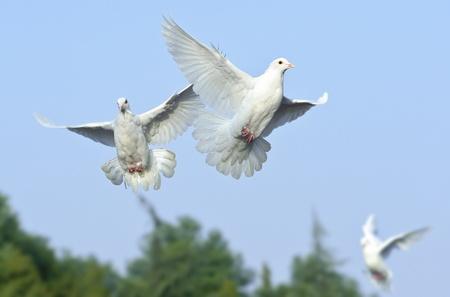 white dove in free flight under blue sky photo