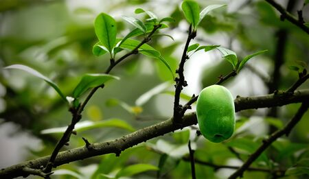fresh green pear on the branch Stock Photo - 8976237