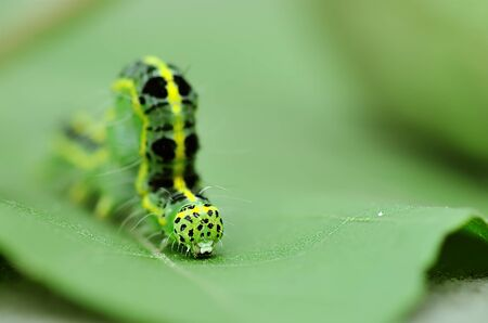 pupa: a cute caterpillar on leaf Stock Photo