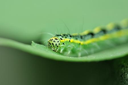 cute caterpillar on leaf Stock Photo - 9273924