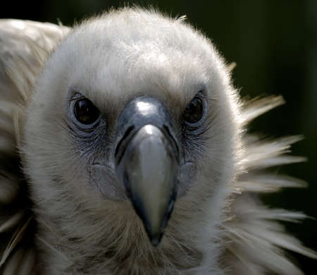 raptorial: raptorial vulture with sharp eye Stock Photo