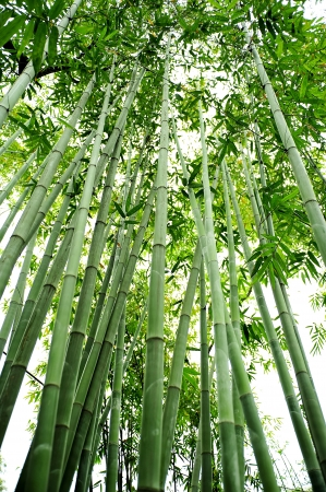the bamboo groves Stock Photo