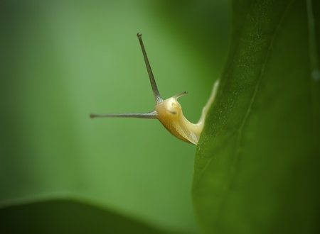 a interesting snail on leaf. Stock Photo - 10119415