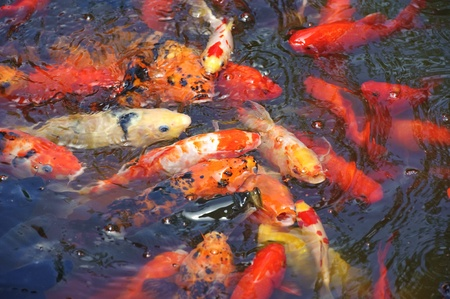 Beautiful golden koi fish in the fish ponds photo