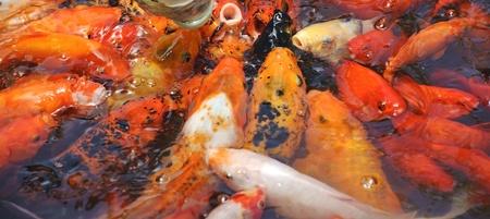 Beautiful golden koi fish in the fish ponds photo