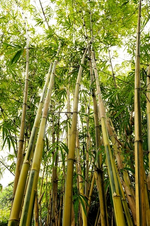 the bamboo groves photo