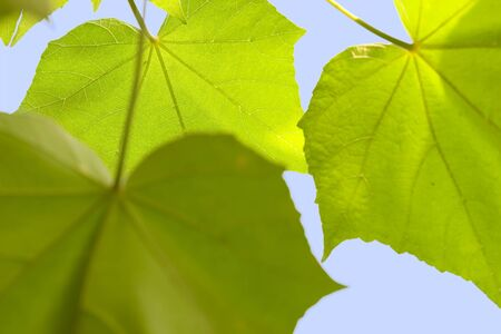 backlighting: detail of backlighting leaves