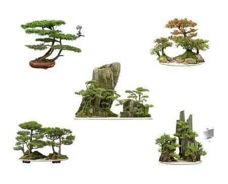 cedro: recopilaci�n de los mejores bons�is de China con fondo blanco aislado