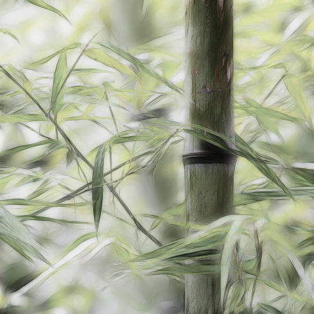 bamboo groves photo