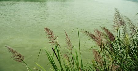Reeds by the river   Stock Photo