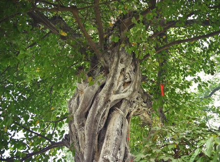 banian tree: Aged banian with thick leaves Stock Photo