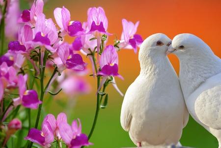 paloma blanca: dos palomas blancas y amantes de la mariposa, flor de la orquídea Foto de archivo