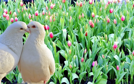 two loving white doves and fresh tulip flowers Stock Photo - 13194745