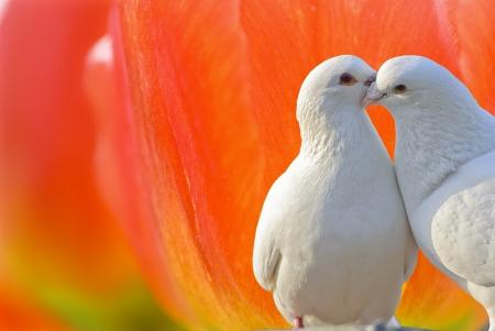 two loving white doves photo