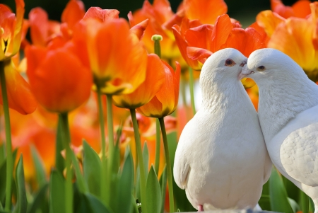 two loving white doves and beautiful tulip flowers photo
